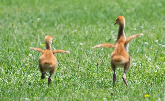 Sandhill Cranes Frolicking in theSunshine