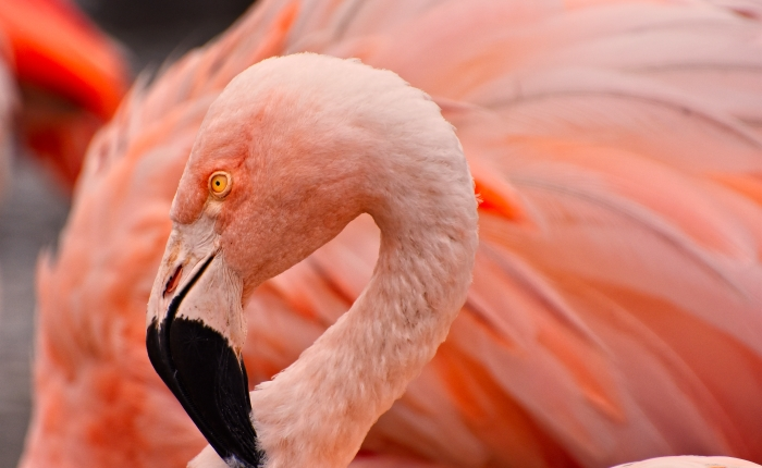 Here ya' go, a Flamingo
